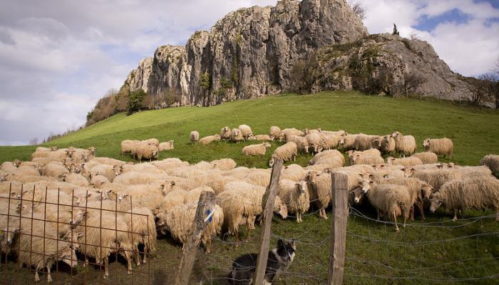 Sheepherding-Radio-publica-USA