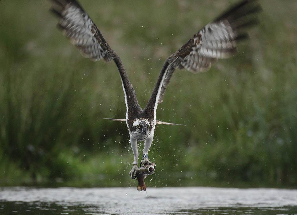 ospreys_scottland