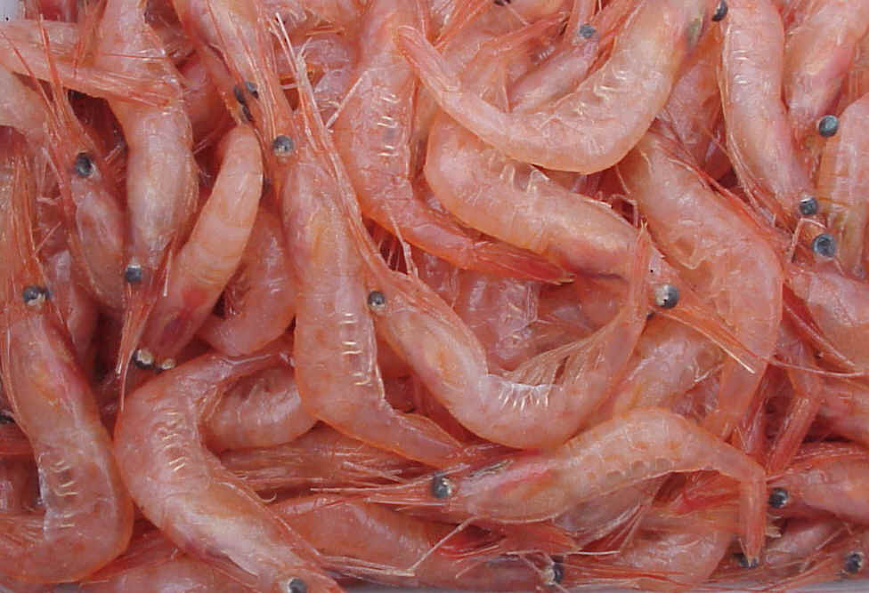 """Gambas. Uno de los crustáceos cuyo """"exoesqueleto"""" se podría utilizar para fabricar   nueva película para envolver alimentos (Fotografía: Wikipedia)"""