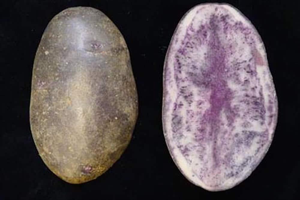"""Variedad de Patata """"Entzia"""" creada por el centro de investigación vasco """"Neiker-Tecnalia"""""""