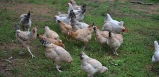 Grupo de gallinas d ela raza Euskal Oiloa en USA