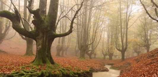 Ethereal beech trees in the Otzaretta Forest. pablofausto/Wikimedia Commons